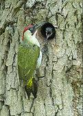 Green woodpecker (Picus viridis) feeding young, England