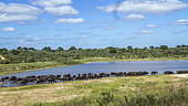 Herd of African buffalo (Syncerus caffer) in lake side in Kruger National park, South Africa