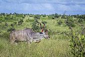 Greater kudu (Tragelaphus strepsiceros) horned male in green savannah in Kruger National park, South Africa