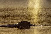 Hippopotamus (Hippopotamus amphibius) blowing up water in Kruger National park, South Africa