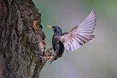 European starling (Sturnus vulgaris) approaching the nesting cave in a tree, young bird with open beak, North Rhine-Westphalia, Germany, Europe