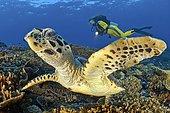 Diver and Green turtle (Chelonia mydas), Ari Atoll, Maldives, Asia