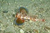 Red Gurnard (Chelidonichthys lucerna) swims over seabed, Capri Island, Italy, Europe