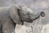 African bush elephant (Loxodonta africana), animal baby with the trunk wrapped, Kruger National Park, South Africa, Africa