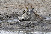 Common warthog (Phacochoerus africanus), adult taking a mud bath at a waterhole with four red-billed oxpeckers (Buphagus erythrorhynchus) resting on his head and back, Kruger National Park, South Africa, Africa