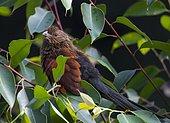 Coucal toulou (Centropus toulou) sur une branche en forêt tropicale, Andsibe, Madagascar