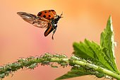 Asian lady beetle (Harmonia axyridis), in flight, aphids, Germany, Europe