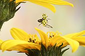 Twenty-two spot ladybird (Psyllobora vigintiduopunctata), in flight, Germany, Europe