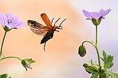 Black-headed Cardinal beetle (Pyrochroa coccinea), in flight, Germany, Europe