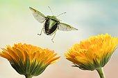 Green shield bug (Palomena prasina), in flight, Germany, Europe