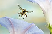 Large marsh hover fly (Helophilus trivittatus), in flight, at a morning glory, Germany, Europe