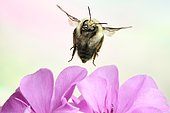 Shrill carder bee (Bombus sylvarum), in flight, at Geranium, Germany, Europe