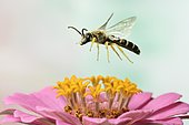 Sweat Bee (Halictus scabiosae), male, in flight, at a zinnia, Zinnia elegans, Germany, Europe