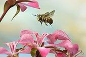 European wool carder bee (Anthidium manicatum), in flight, at Geranium, Germany, Europe