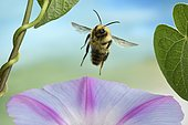 Common Carder-bee (Bombus pascuorum), in flight, on Morning glory (Ipomoea), Germany, Europe