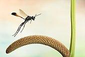 Red-banded sand wasp (Ammophila sabulosa), in flight, on Calm (Acorus calamus), Germany, Europe