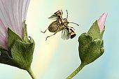 Eurydema ornata (Eurydema ornata), in flight, on mallow (Malva), Germany, Europe