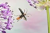 Rustic Sailor (Cantharis rustica), in flight, on decorative onion (Allium), Germany, Europe