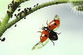 Seven-spott ladybird (Coccinella septempunctata), on approach, stalk of borage with Aphids (Aphidoidea), Germany, Europe