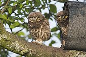 Young Little owls (Athene noctua), sitting at the Niströhre, Emsland, Lower Saxony, Germany, Europe