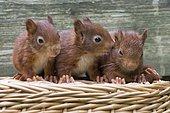 Eurasian red squirrels (Sciurus vulgaris), three young animals sitting on a basket, Emsland, Lower Saxony, Germany, Europe