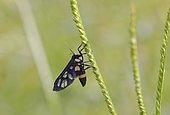 Ceryx sphenodes (Ceryx sphenoides) on grass, Isaan, Thailand, Asia