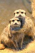 Meerkats (Suricata suricatta), young animals, captive, Germany, Europe