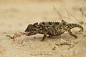 Namaqua chameleon (Chamaeleo namaquensis), feeding, Namib Desert near Swakopmund, Namibia, Africa
