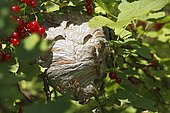 Wasp's nest (Vespula) in red currant (Ribes rubrum), Schleswig-Holstein, Germany, Europe