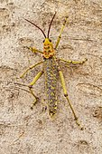 Common milkweed locust (Phymateus morbillosus), climbs on bark, Windhoek, Namibia, Africa