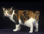 Domestic Cat Japanese Bobtail, Standing, side view