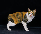 Domestic Cat, Japanese Bobtail, adult, standing