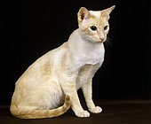 Red Point Siamese, sitting