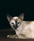 Siamese Tortie Point Cat, face detail