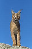 Caracal (Caracal caracal) , présent en Afrique et en Asie, animal adulte, mâle, marchant sur des rochers, Captif.