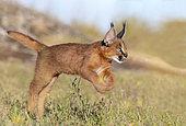 Caracal (Caracal caracal) , présent en Afrique et en Asie, Jeune animal âgé de 9 semaines sautant dans l'herbe, Captif.