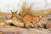Caracal (Caracal caracal) , présent en Afriquue et en Asie, Jeunes animaux âgés de 9 semaines sur des rochers, Captifs.