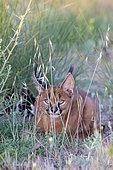 Caracal (Caracal caracal) , présent en Afrique et en Asie, Jeune animal âgé de 9 semaines, couché dans l'herbe, Captif.