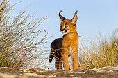 Caracal (Caracal caracal) , présent en Afrique et en Asie, Jeune animal âgé de 9 semaines En déplacement dans des rochers, Captif.