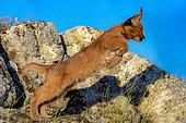 Caracal (Caracal caracal) , présent en Afrique et en Asie, Jeune animal âgé de 9 semaines, sautant d'un rocher, Captif.
