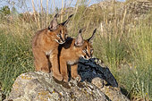 Caracal (Caracal caracal) , présent en Afrique et en Asie, Jeunes animaux âgés de 9 semaines, sur des rochers, Captifs.