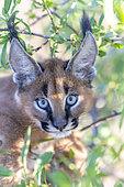 Caracal (Caracal caracal) , présent en Afrique et en Asie, Jeune animal âgé de 9 semaines, dans un arbre, Captif.