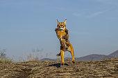 Caracal (Caracal caracal) , présent en Afrique et en Asie, animal adulte, mâle, Sautant, Captif.