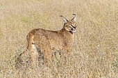 Caracal (Caracal caracal) , présent en Afrique et en Asie, animal adulte, mâle, se déplaçant dans la savane, Captif.