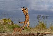 Caracal (Caracal caracal) , présent en Afrique et en Asie, animal adulte, mâle, Sautant, Courant, Captif.