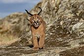 Caracal (Caracal caracal), présent en Afrique et en Asie, Jeune animal âgé de 9 semaines En déplacement dans des rochers, Captif.