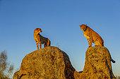 Cheetah (Acinonyx jubatus), occurs in Africa, two adults on rocks, captive