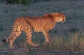 Cheetah (Acinonyx jubatus), occurs in Africa, walking in savanah, captive