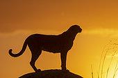 Cheetah (Acinonyx jubatus), occurs in Africa, adult at sunset, captive
