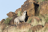 White Asian (Bengal) Tiger (Panthera tigris tigris), search for smells of territorial marking, Private reserve, South Africa